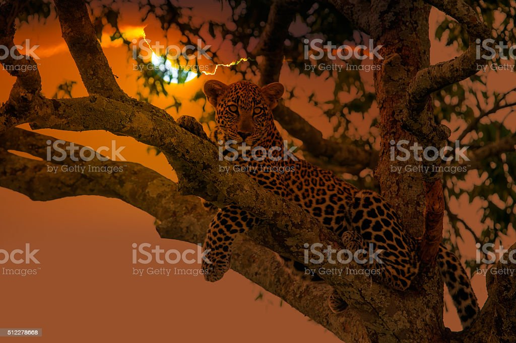 Leopard resting - looking at camera stock photo