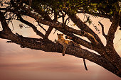 Beautiful leopard rests in a tree at sunset in Serengeti, Africa Tanzania.