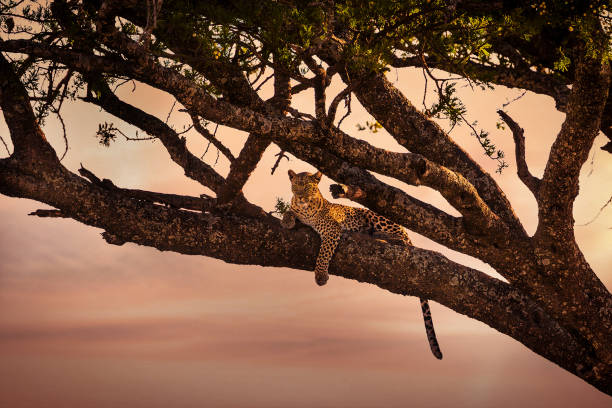 Leopard rests in a tree at sunset stock photo
