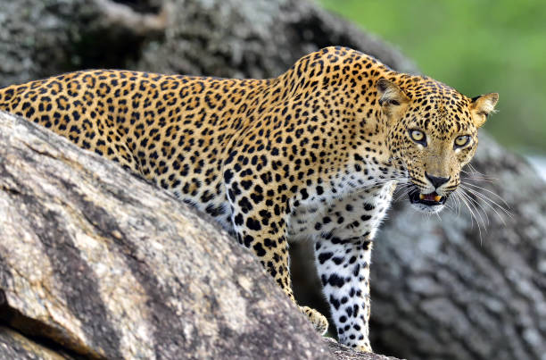 Leopard roaring. stock photo