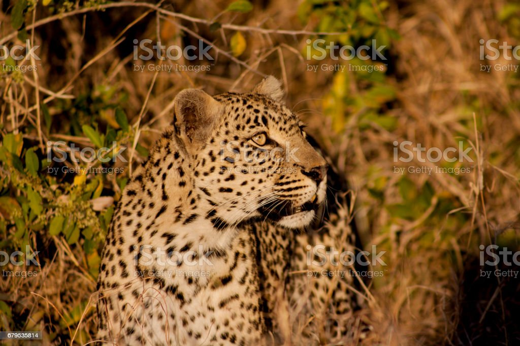 Leopard, Sabi Sands, South Africa royalty-free stock photo