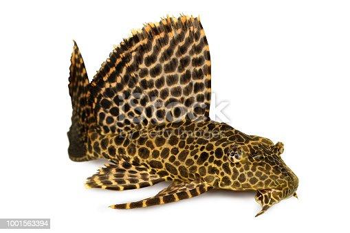 istock Leopard Sailfin Pleco Aquarium fish Pterygoplichthys gibbiceps 1001563394