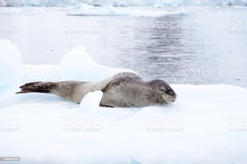 A Leopard Seal In The Antarctic Peninsula Stock Photo & More ...