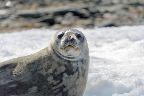 Leopard seal on beach with snow in Antarctica stock photo