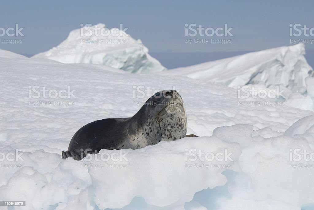 Leopard Seal Stock Photo & More Pictures of Animal | iStock