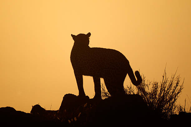 Leopard silhouette picture id156525841?b=1&k=6&m=156525841&s=612x612&w=0&h=zsfsp3fr9a5fzkikllr5sfrjrsbdxk0vlcrlma1jlim=