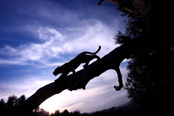 leopard silhouette - big cat stock pictures, royalty-free photos & images