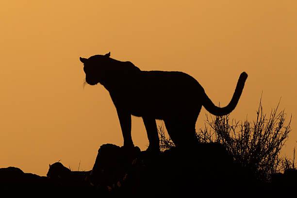 Leopard silhouette picture id452405377?b=1&k=6&m=452405377&s=612x612&w=0&h=cszuxbeddimaza212yiaxmfsmly cklokrqq5pva7 y=