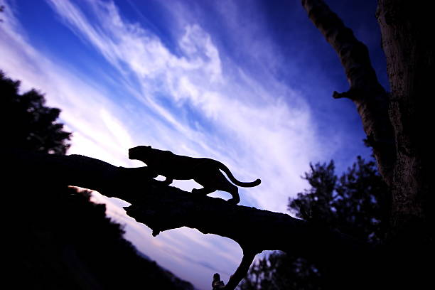 leopard silhouette - black leopard stock photos and pictures