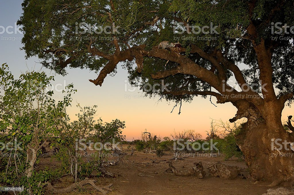 Leopard sitting high above in a mashatutree with his kill stock photo