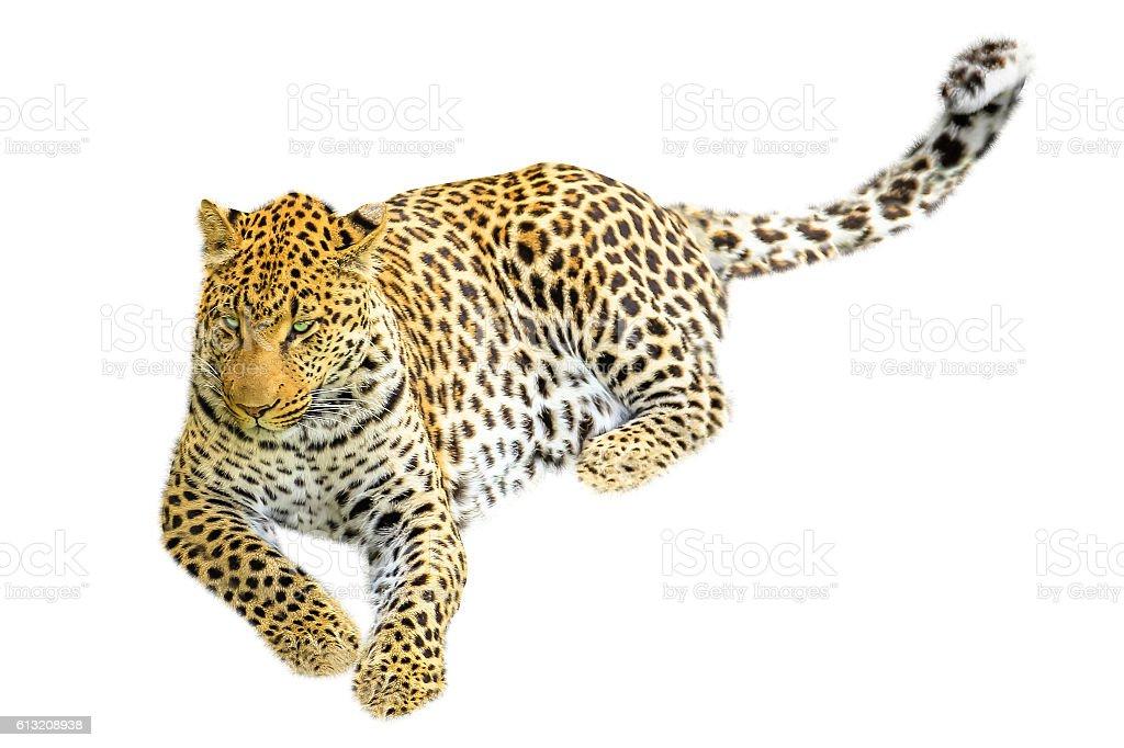 Leopard sitting isolated - Royaltyfri Afrika Bildbanksbilder