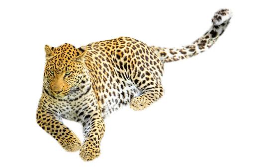 Leopard Sitting Isolated-foton och fler bilder på Afrika