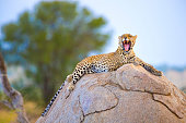 Leopard sitting on a rock. Yawning or snarling.In the wild in the Serengetti, Tanzanaia, Africa