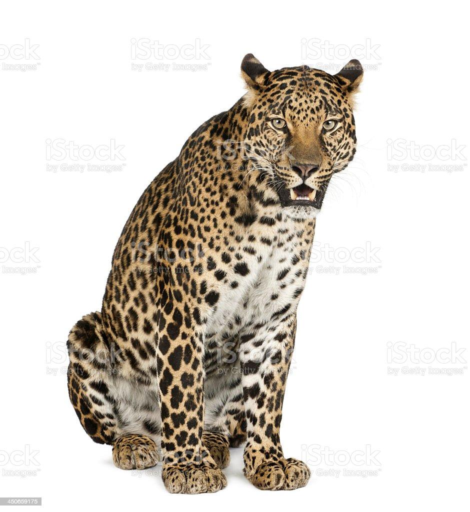 Leopard sitting, roaring, Panthera pardus stock photo