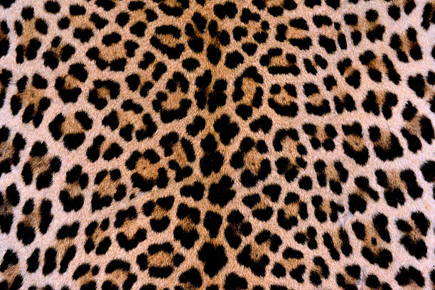 leopard skin - authentic - animal markings stock photos and pictures