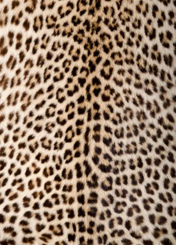 Authentic leopard skin.