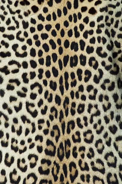 leopard haut/ausblenden - flecktarn stock-fotos und bilder