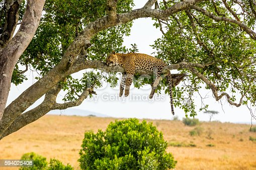 istock Leopard sleeping full stomach with yellow balls 594025408