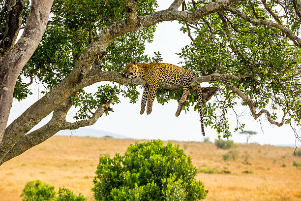 leopard sleeping full stomach with yellow balls - safari stock photos and pictures