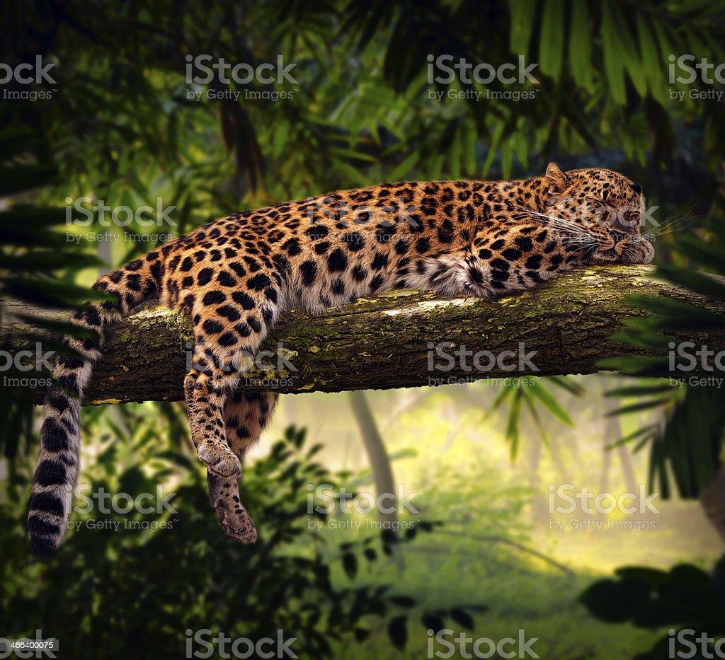 Léopard dormir dans la jungle - Photo