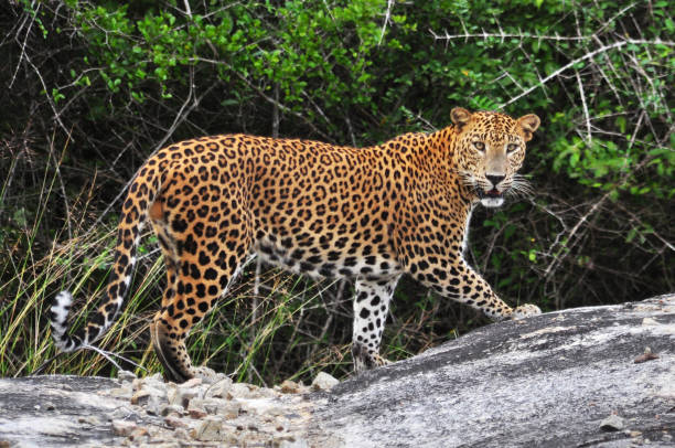 Leopard, Srilanka. Leopard, Srilanka. yala stock pictures, royalty-free photos & images