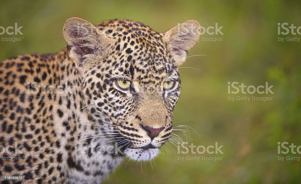 Leopard standing in savannah royalty-free stock photo
