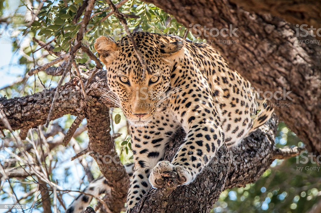 Leopard starring in a tree. stock photo