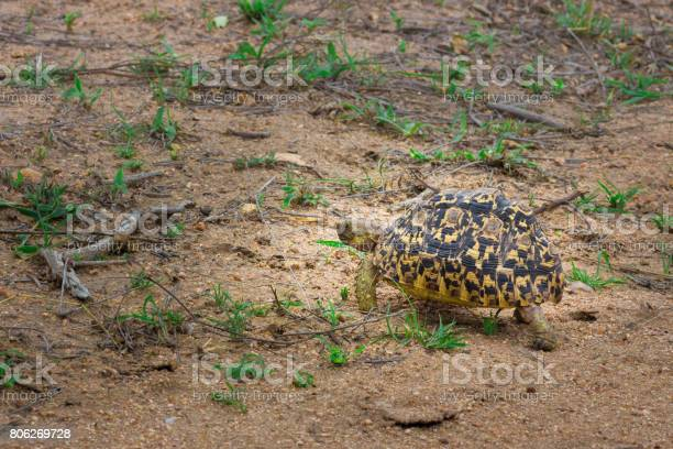 Leopard tortoise grazing on beautiful green grass kruger national picture id806269728?b=1&k=6&m=806269728&s=612x612&h=knrt5exnvmn7yj3giam6poj0gbcaw mcxflpgu21atg=