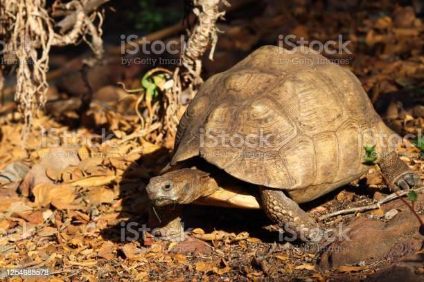 Leopard tortoise in natural environment picture id1254688578?b=1&k=6&m=1254688578&s=612x612&h=uyqdphj2pmy7iwtidns6uz1yj7vk93ultpyq7znl1ag=