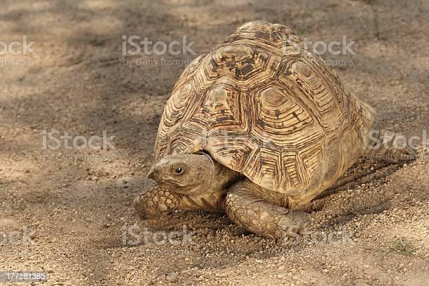 Leopard tortoise picture id177281385?b=1&k=6&m=177281385&s=612x612&h=l a ugboocfbczieebfgbvezimfyxcqfeprf30lrs6k=