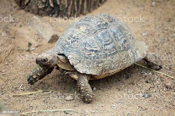 Leopard tortoise picture id481535142?b=1&k=6&m=481535142&s=612x612&h=jnt 0gh4kalq9 ur as ekbov6i3xzzpai9id2xl3qo=