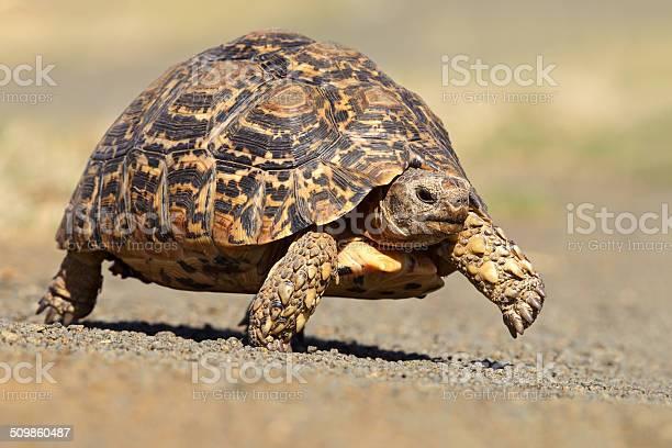Leopard tortoise picture id509860487?b=1&k=6&m=509860487&s=612x612&h=upvvrocunbu mba3jvsfgjlqic zy9t 5sqs2gamw e=