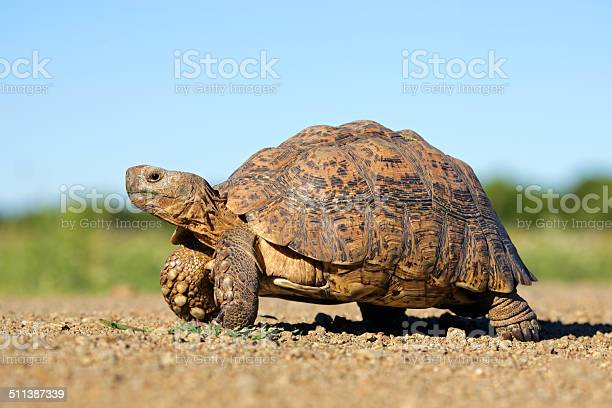 Leopard tortoise picture id511387339?b=1&k=6&m=511387339&s=612x612&h=5kcbawvlqlptmjnzooar4lroxoge1cv2csw cd8ut6m=