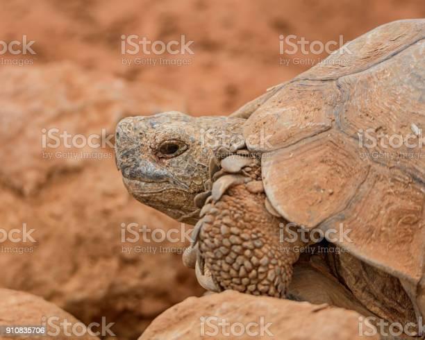 Leopard tortoise picture id910835706?b=1&k=6&m=910835706&s=612x612&h=6z4rusy8b g9jz4vl6g ksbn01bmdhof8tw7rxfysm8=
