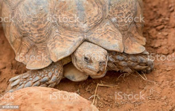 Leopard tortoise picture id910836336?b=1&k=6&m=910836336&s=612x612&h=p0fd8l vasmzditvwa0cr8g7jp3kiite6vamwxwum7s=