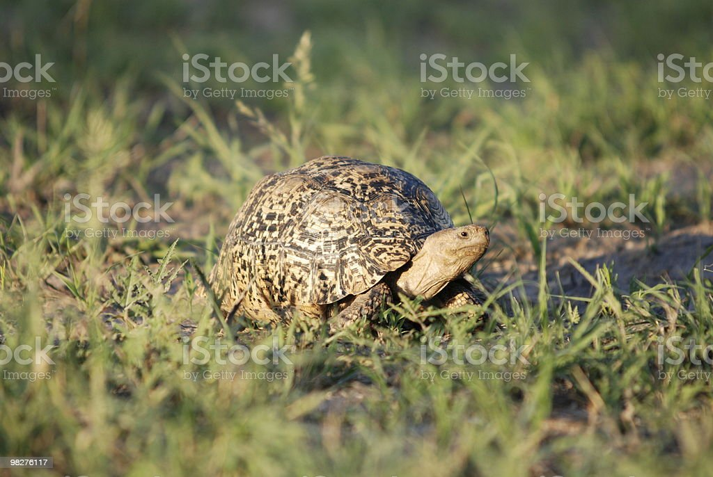 Leopard Tortoise royalty-free stock photo