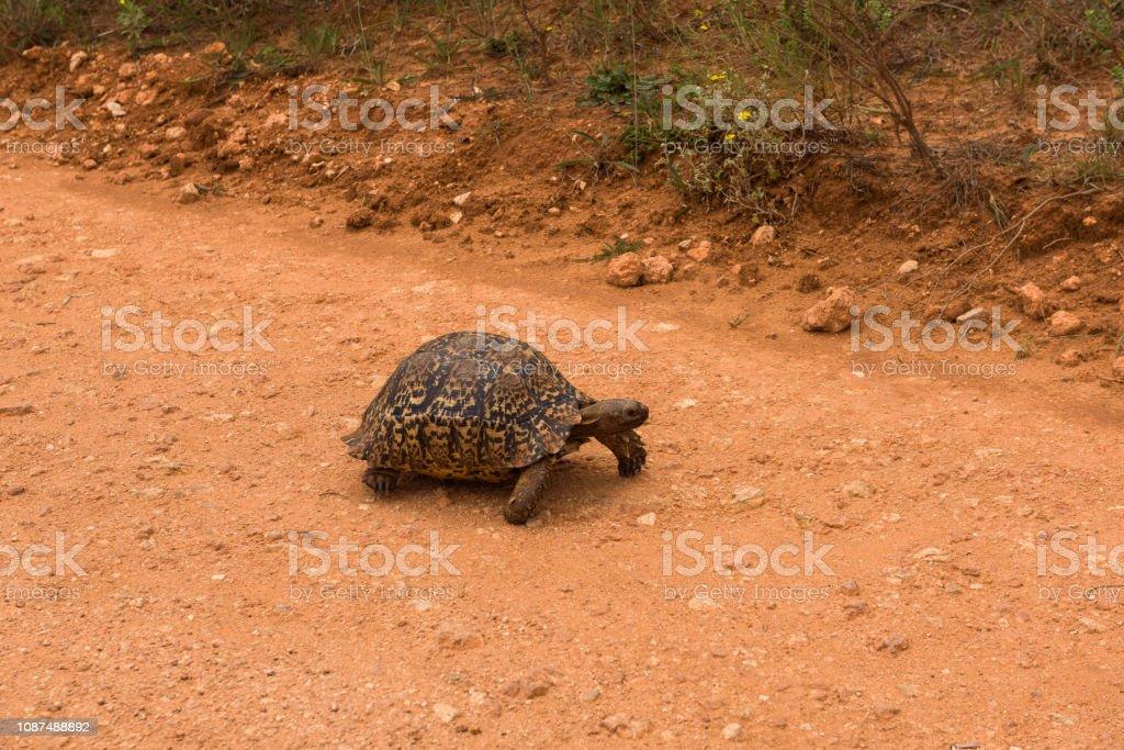 Leopard tortoise slowly wandering along the road in Addo Elephant Park stock photo