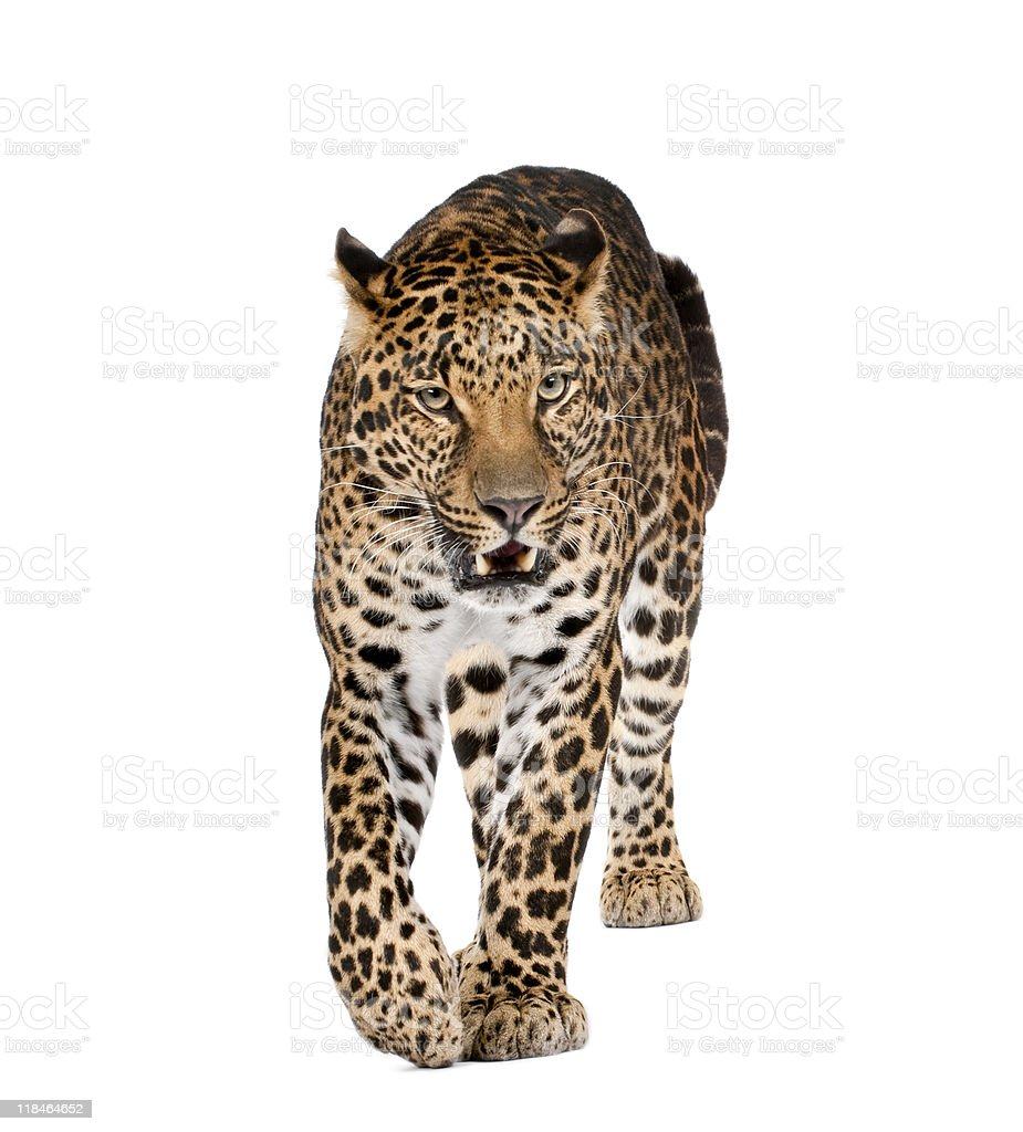 Leopard walking and snarling against white background royalty-free stock photo