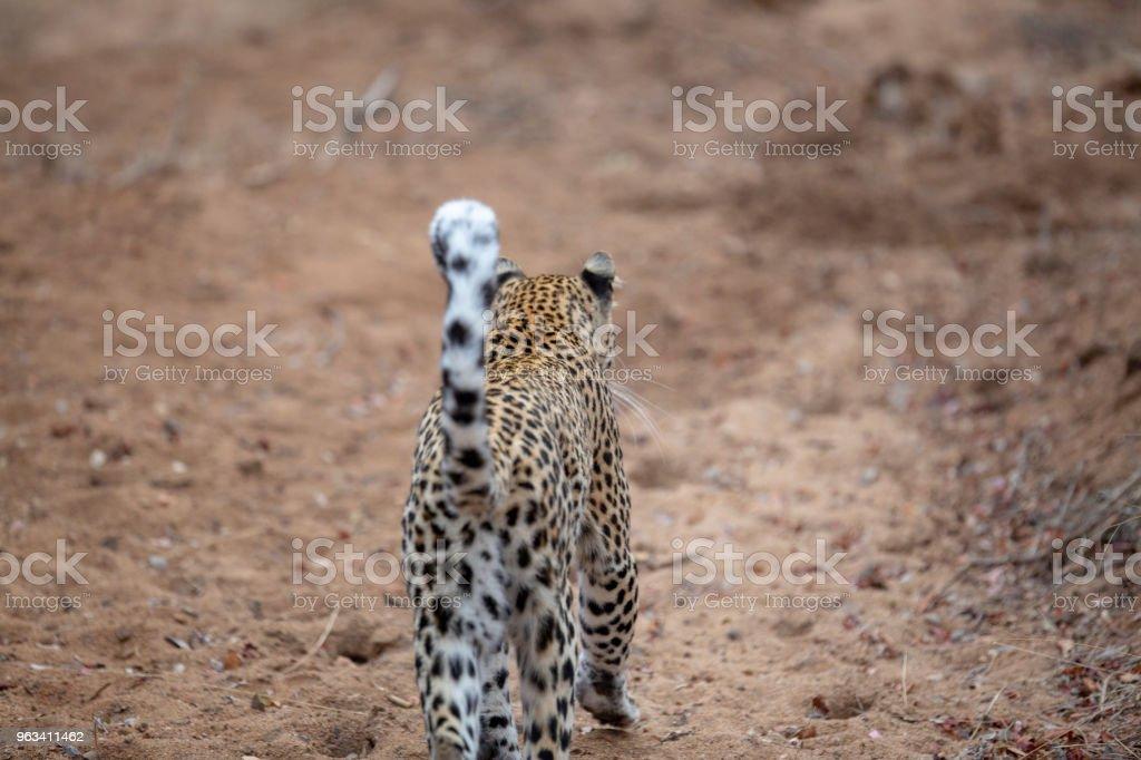 Lampart spacerujący po terytorium znakowania - Zbiór zdjęć royalty-free (Bez ludzi)