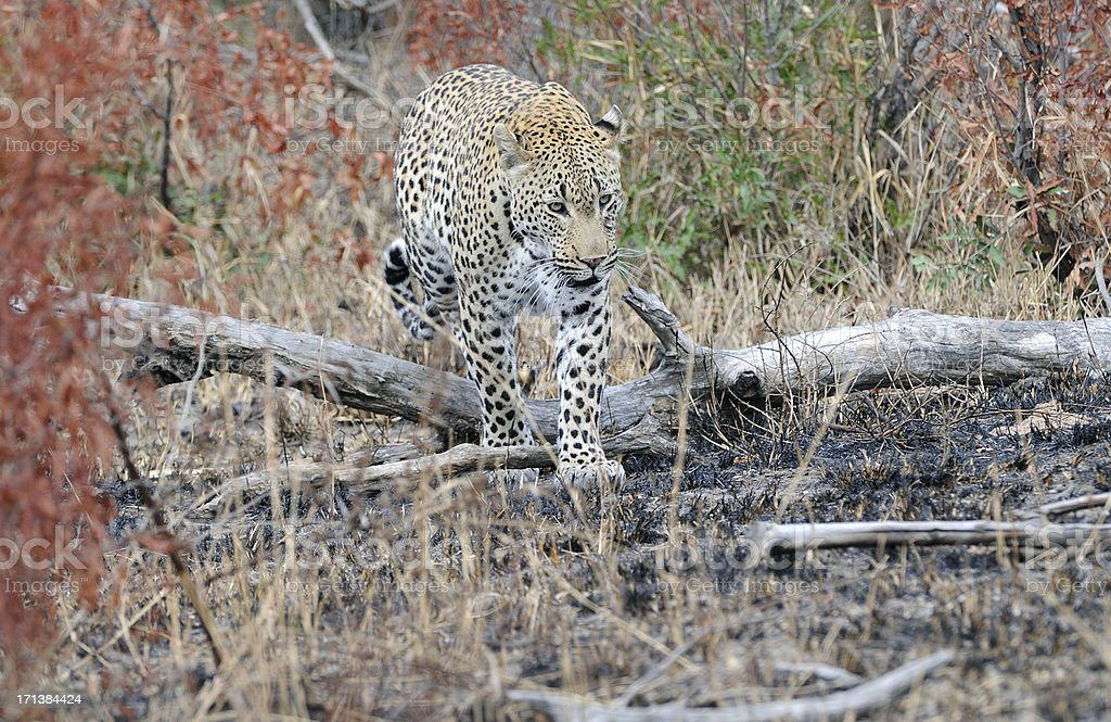 Leopard walking through the woods royalty-free stock photo