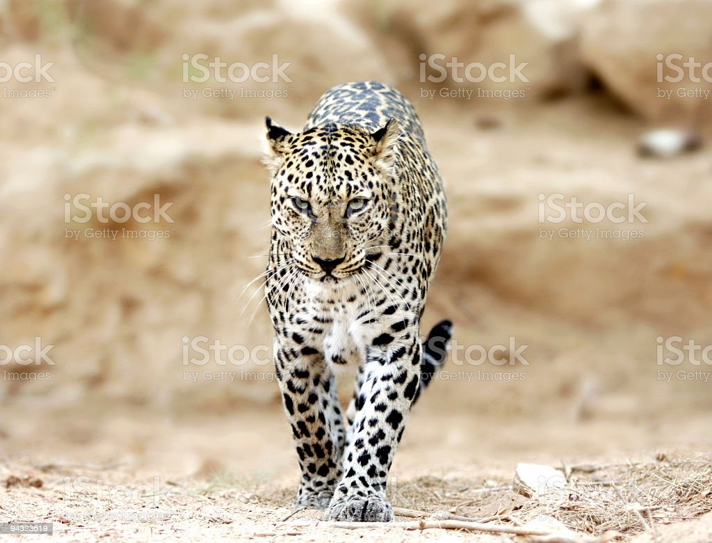 Leopard walking to you stock photo
