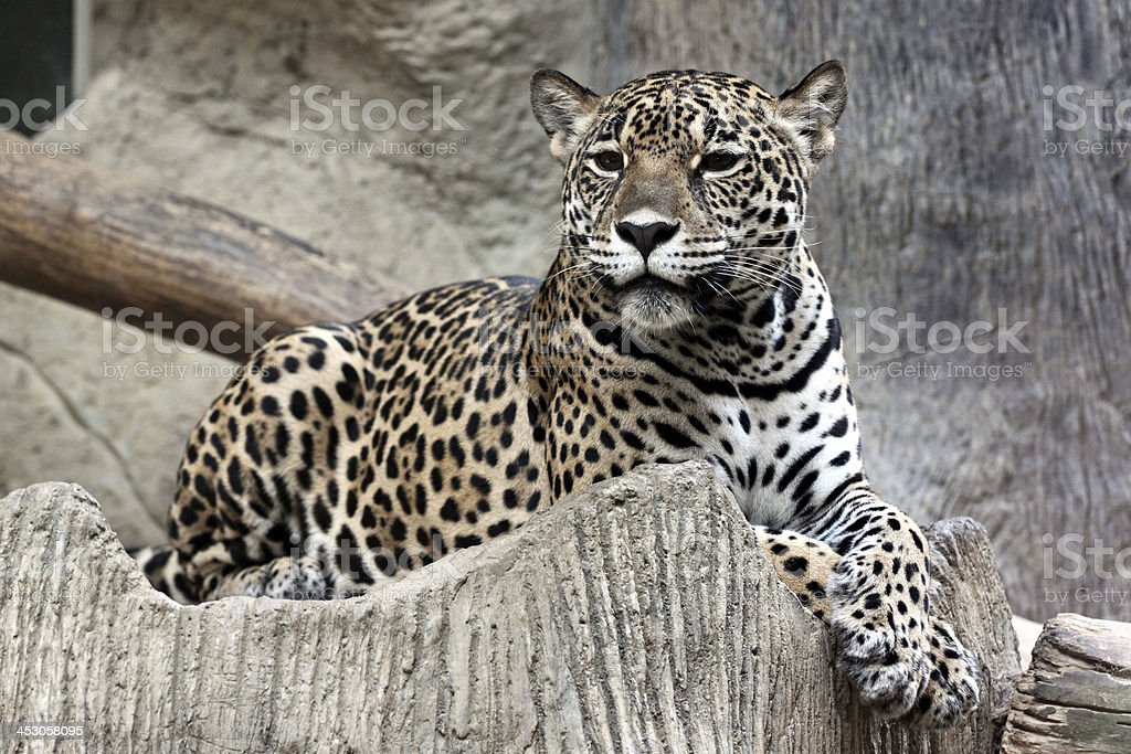 Leopard was watching something. royalty-free stock photo