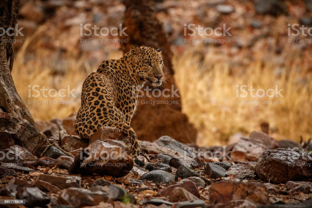 Leopard wet in the rain stock photo