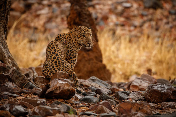 Leopard wet in the rain Indian leopard in the nature habitat. Leopard wet in the rain. Wildlife scene with danger animal. Hot summer in Rajasthan, India. Cold rocks with beautiful indian leopard, Panthera pardus fusca yala stock pictures, royalty-free photos & images
