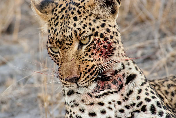 Leopard with a bloody face