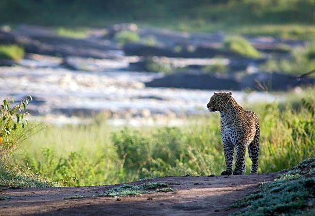 Leopard with river backdrop picture id510966318?b=1&k=6&m=510966318&s=612x612&w=0&h=jetgutckz91 t2ryrra 4pi swm4bjiblrit8qntigw=