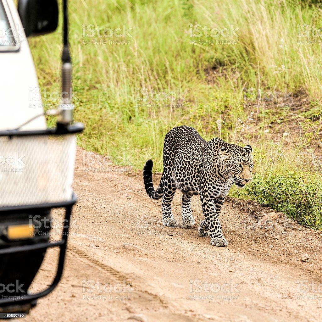 Leopard the way to its territory in Masai Mara, Kenya