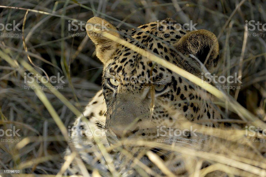 Leopard's beautiful eyes stock photo