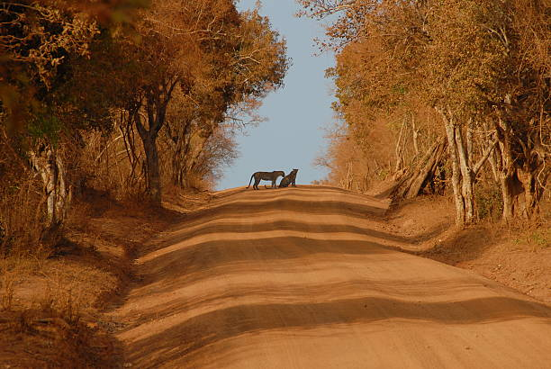 Leopards on the road  yala stock pictures, royalty-free photos & images