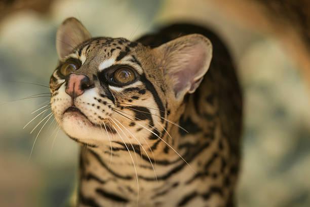 leopardus pardalis - ocelot foto e immagini stock